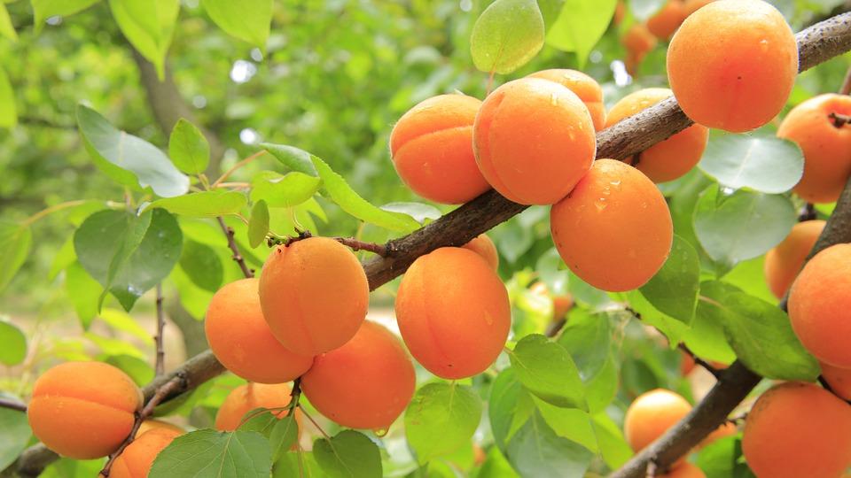 Začínáme zahradničit – jaké druhy ovocných stromů vybrat a co je dobré vědět? 3