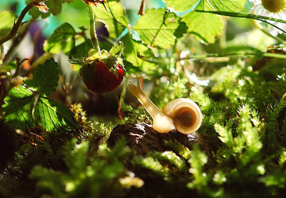 Pěstování sladkých jahod – jde to i v domácích podmínkách? 3