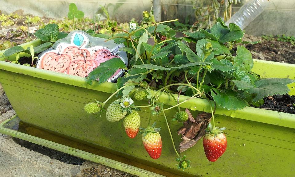 Pěstování sladkých jahod – jde to i v domácích podmínkách? 1