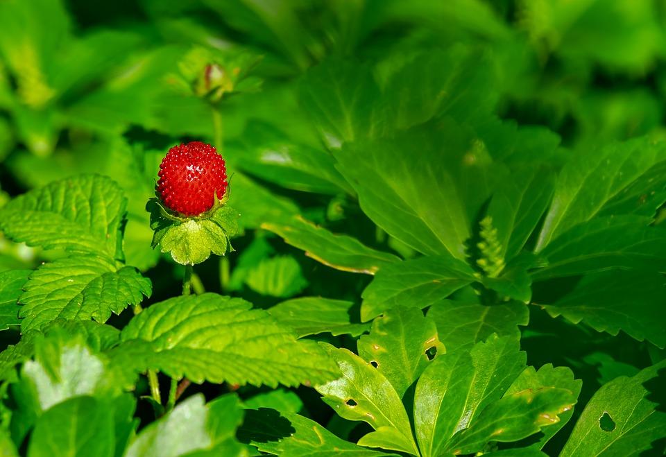 Pěstování sladkých jahod – jde to i v domácích podmínkách? 2